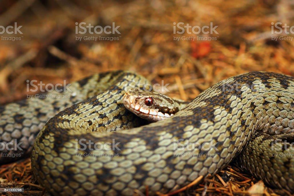 beautiful closeup of european crossed viper stock photo