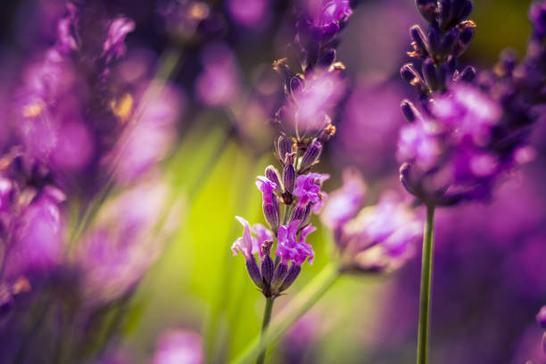 Beautiful closeup of lavender flowers in the garden. Sweet scented natural, vegan ingredient stock photo