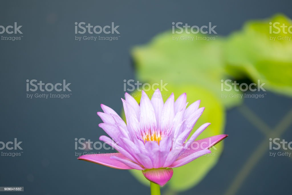 Beautiful Closeup Of Lotus Flower Is Complimented Stock Photo More