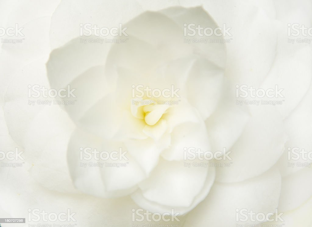 Beautiful closeup of Magnolia flower stock photo