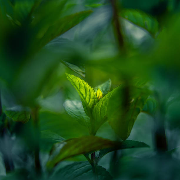 Beautiful closeup of peppermint leaves in the garden. Natural, fresh, cooling herbal tea, vegan, organic ingredient. stock photo