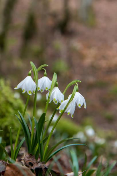 Schöne Nahaufnahme von Frühlingsschneeflocken (Leucojum vernum) – Foto