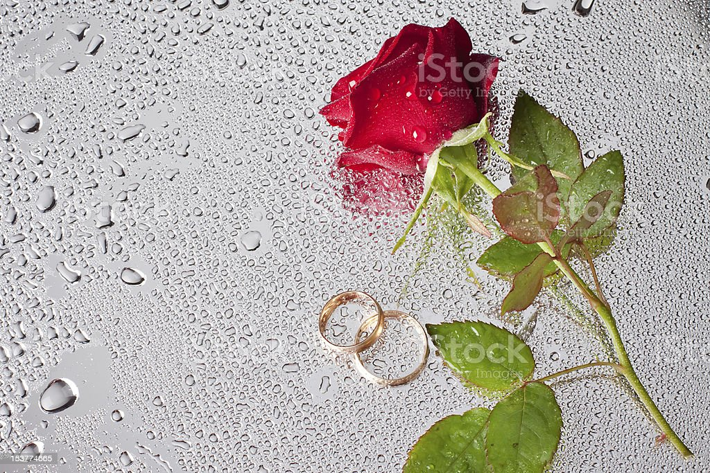 beautiful close-up rose with water drops royalty-free stock photo