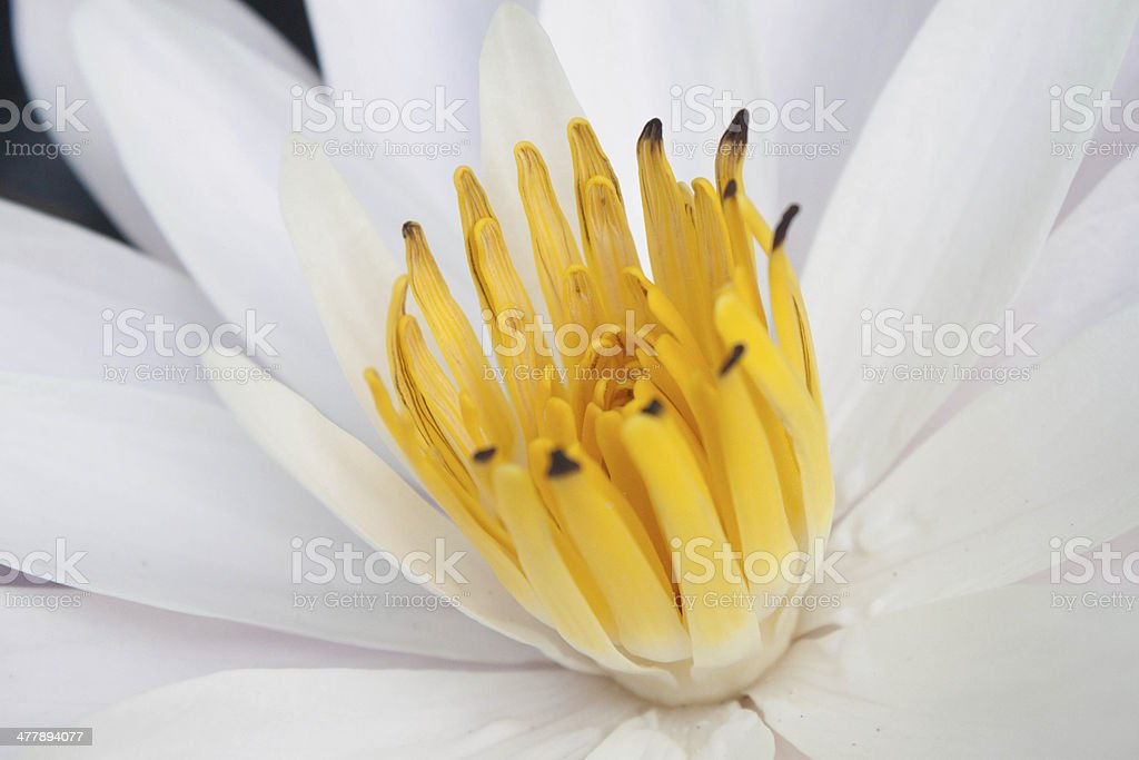 beautiful closeup water lily royalty-free stock photo