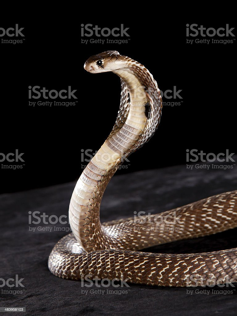 Beautiful Cobra stock photo