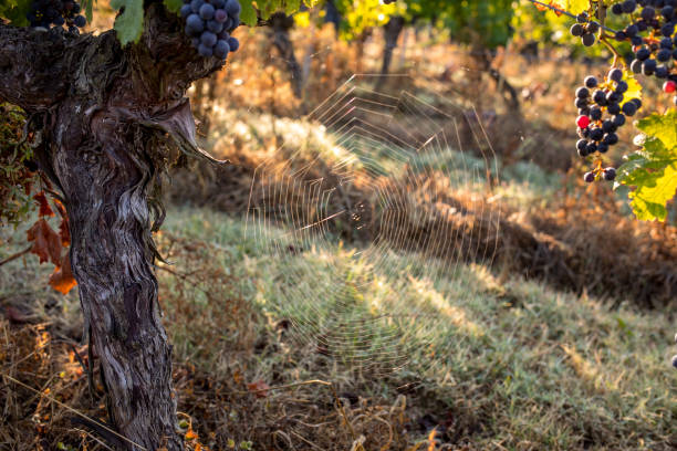 A beautiful cobweb in the morning light in a vineyard in the Saint Emilion region. France