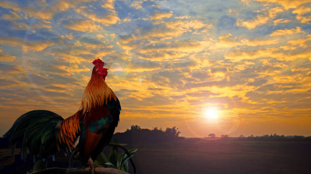 Beautiful cock crowing. Rooster crowing in the morning with sunrise. rooster stock pictures, royalty-free photos & images