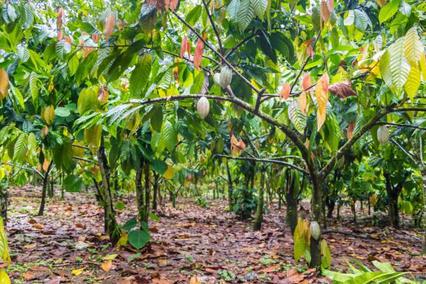 schöne kakao farm - plantage stock-fotos und bilder