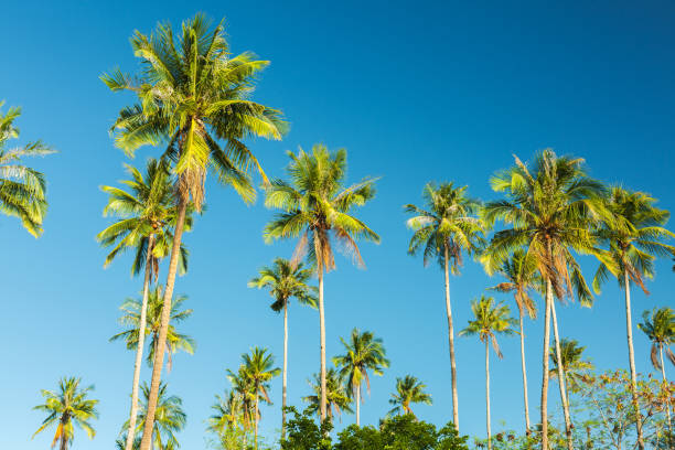 vacker kokosnöt palmträd på blå himmel - palm bildbanksfoton och bilder