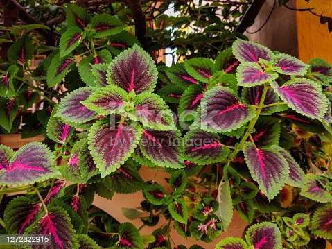 Beautiful coleus leaves in garden. Daylight.