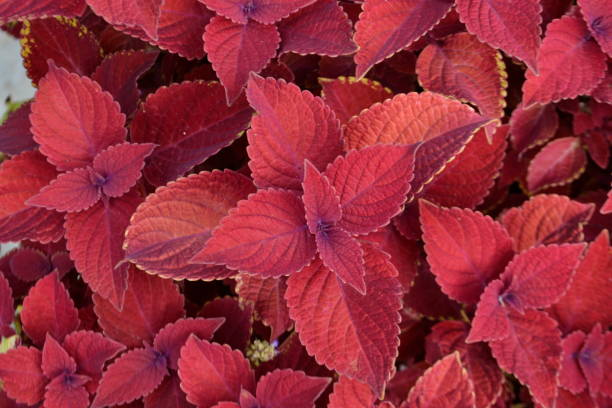 Beautiful Coleus Plants stock photo