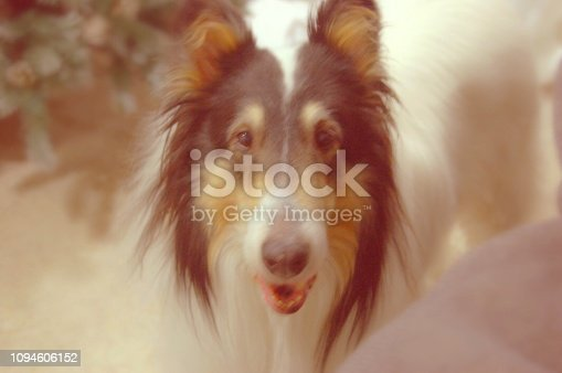 "Collie Looking just like ""Lassie"" staring at the camera."