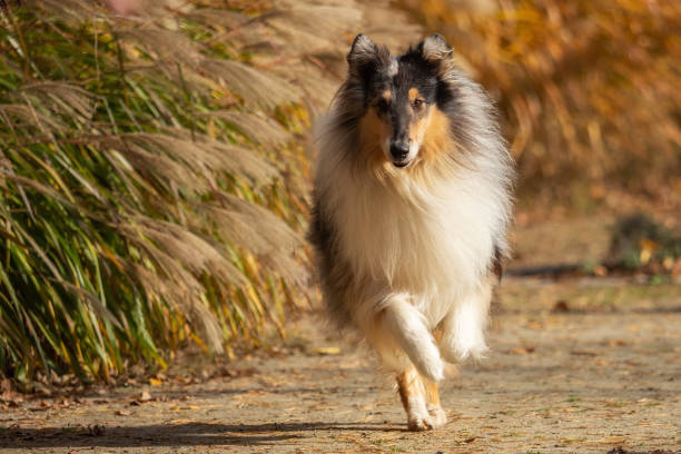A beautiful collie with long hair out in nature stock photo