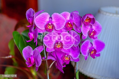 An indoor shot of coloiurful Colombian orchid flowers.  Image shot in natural light. Horizontal format. Focus on central flower.