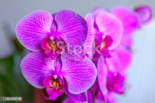 An indoor shot of coloiurful Colombian orchid flowers.  Image shot in natural light. Horizontal format. Focus on top left flower.