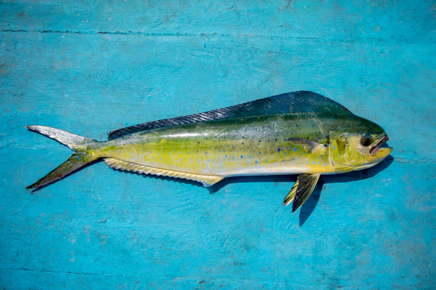 Royalty free dolphin fish pictures images and stock for Dolphin fish pictures