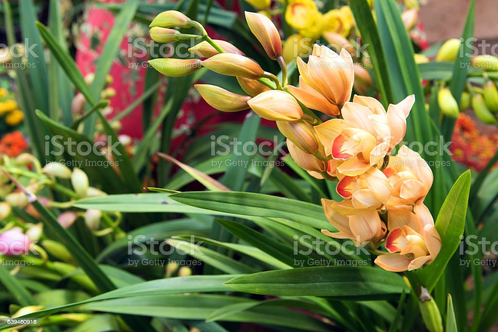 Beautiful color of Cymbidium orchids close up stock photo