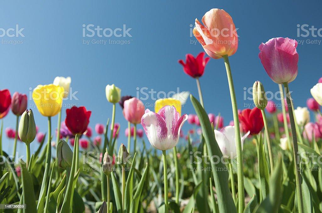 Schöne bunte Tulpe – Foto