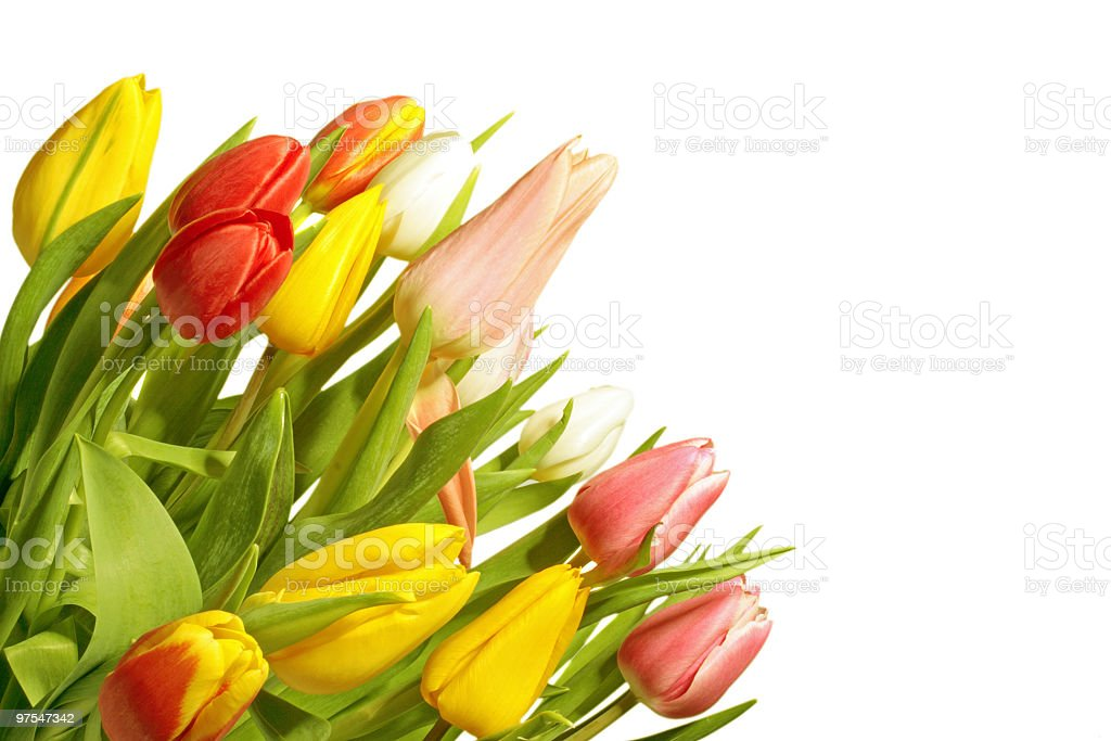 Beautiful colored tulips from the Netherlands in springtime royalty-free stock photo
