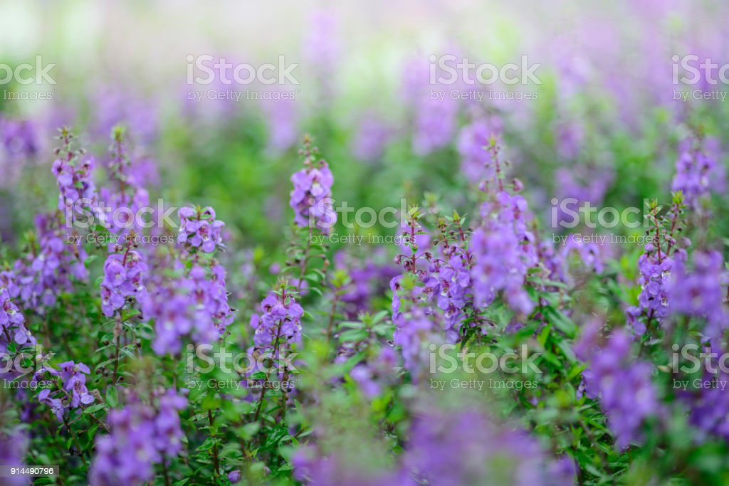 Beautiful colorful  angelonia flower in the garden stock photo