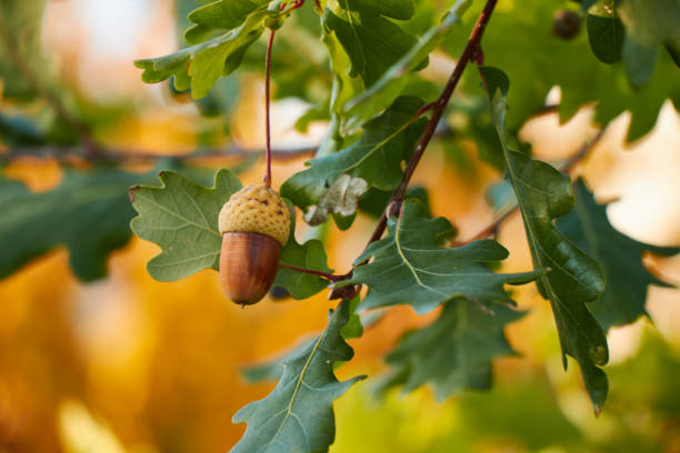 Beautiful colorful closeup of an acorn growing on oak tree with orange october leaves in the background. stock photo