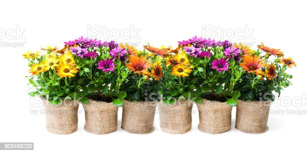 Beautiful colorful daisy flowers in small pots decorated with on picture id903468230?b=1&k=6&m=903468230&s=612x612&h=lgjsby9unzjvatcum1gmw1f354u0topbhtrswccxpke=