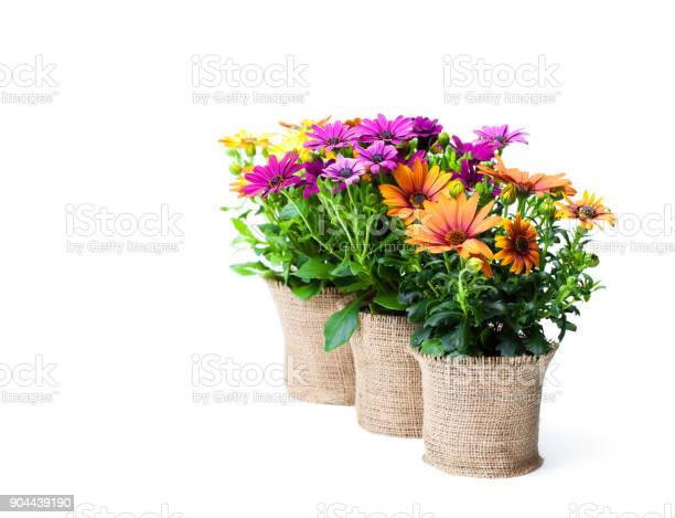 Beautiful colorful daisy flowers in small pots decorated with on picture id904439190?b=1&k=6&m=904439190&s=612x612&h=5lwgagj g4gv8nvq0r6zz9mkuqhml2 rrdyfnruxfwi=
