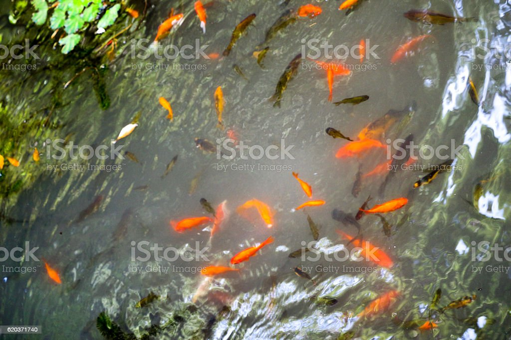 Beautiful colorful  fish in the pond foto de stock royalty-free