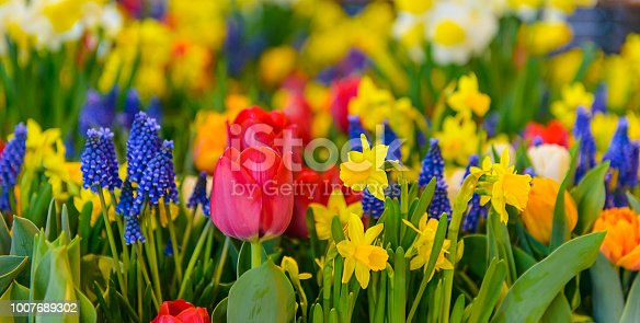 Beautiful colourful flower panorama in spring. Vividly coloured red and orange tulips, yellow daffodils, deep blue hyacinths and green leafs in a full frame and close-up image. Great for flower backgrounds.