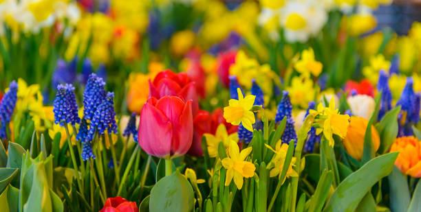 아름 다운 다채로운 화 단 튤립 선화 hyacinths 파노라마 배경 흐리게 - 히아신스 뉴스 사진 이미지