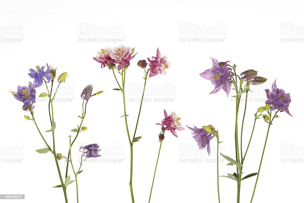beautiful colorful flowers Aquilegia stock photo