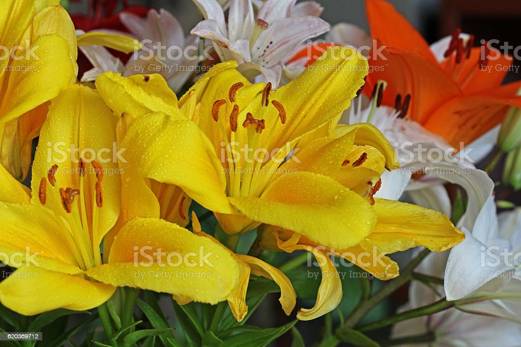 Beautiful colorful flowers lily. foto de stock royalty-free