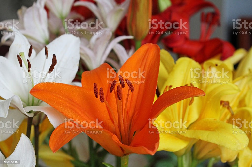 Beautiful colorful flowers lily. zbiór zdjęć royalty-free
