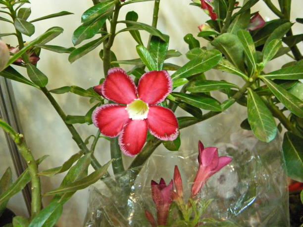 belles fleurs colorées - rose des sables photos et images de collection