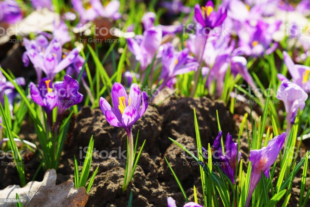 Beautiful Colorful Magic Blooming First Spring Flowers Purple Crocus