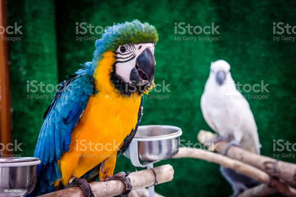Beautiful Colorful Parrot - Royalty-free Abu Dhabi Stock Photo