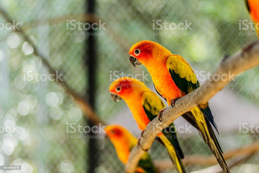 Beautiful colorful parrot, Sun Conure (Aratinga solstitialis), s foto royalty-free