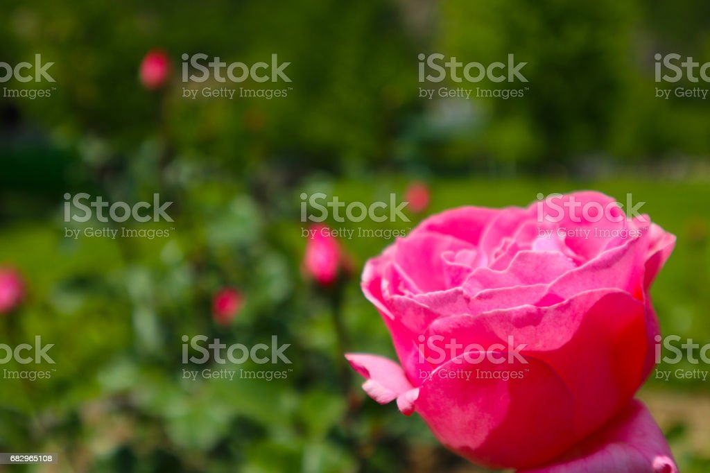 Beautiful colorful pink rose flower blooming blossom. royalty-free stock photo