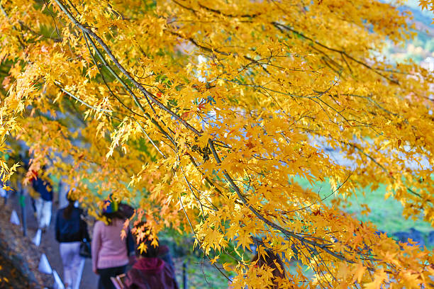 Beautiful Colorful Red Maple Leaf Vibrant Tree in Japan . stock photo