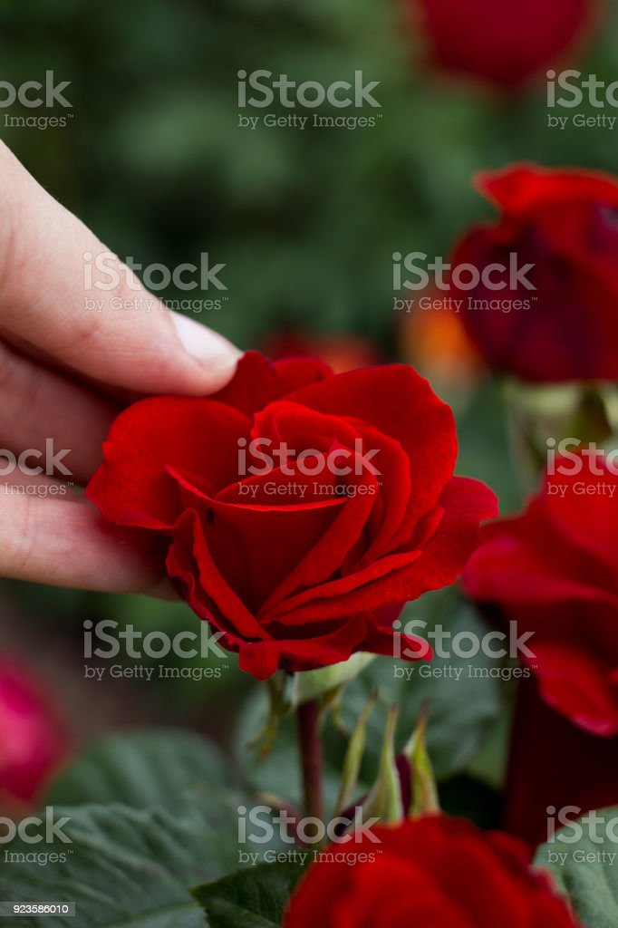 Beautiful colorful Rose Flower in hand stock photo
