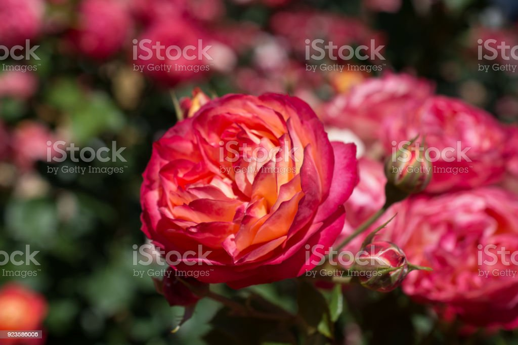 Beautiful colorful Rose Flower stock photo