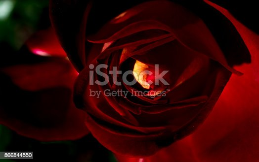 istock Beautiful colorful Rose in close up view 866844550