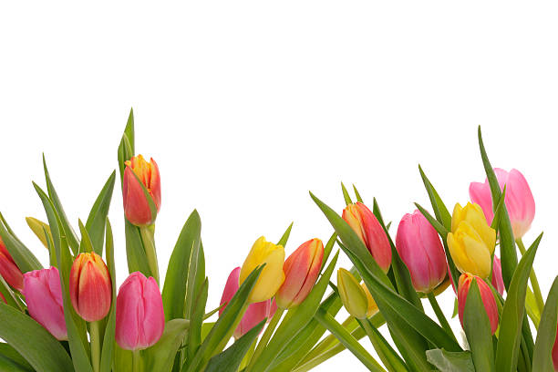 Beautiful Colorful Spring Tulip Border on white background stock photo