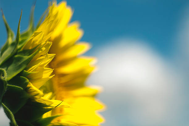 beautiful colorful sunflower blooms ,  with clouds and blue sky - dazzlingly stock pictures, royalty-free photos & images