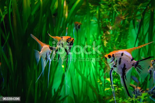 istock Beautiful colorful tropical fish Skalaria on green background. Scalar in the aquarium on a background of algae. 963384096