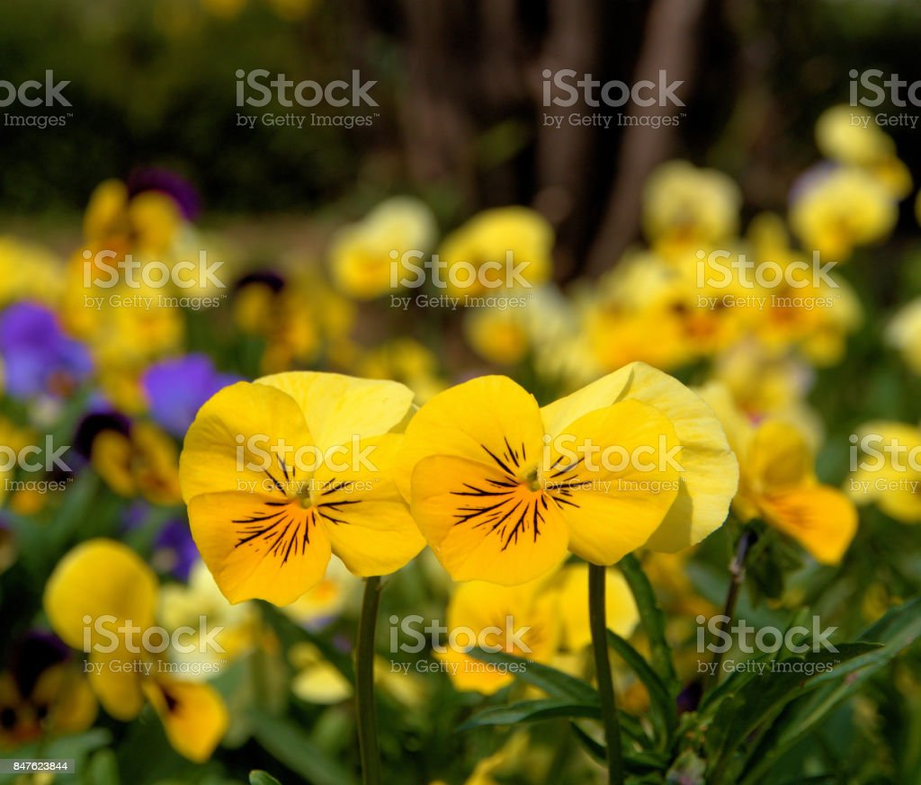 Beautiful colorful tulip and flowers field in srinagar kashmir stock beautiful colorful tulip and flowers field in srinagar kashmir royalty free stock photo izmirmasajfo