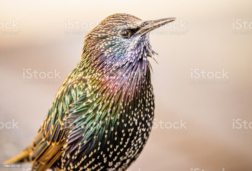 Beautiful, colorful, vibrant close-up of a European Starling with iridescent feathers stock photo