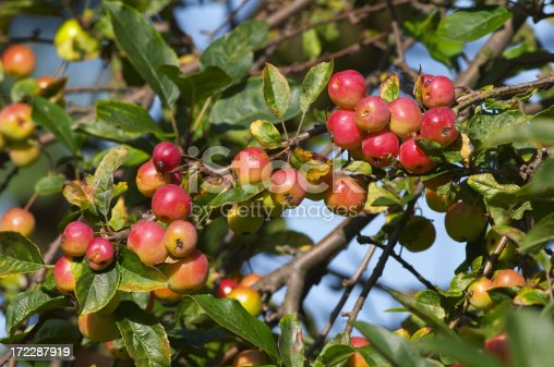 Beautiful colour on these cherry-sized fruits. Crab apples of the variety Malus Red Sentinel. Various kinds of apples growing wild: .