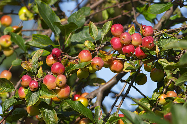 Gorgeous red-pink crab apples stock photo