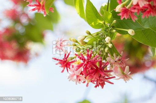 Beautiful Combretum indicum on bokeh background